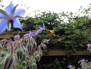 bee and borage
